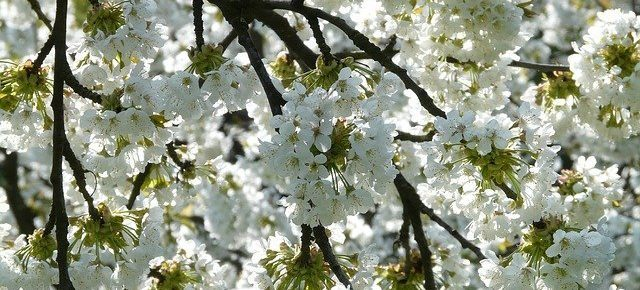 april franchise small business news cherry blossom image