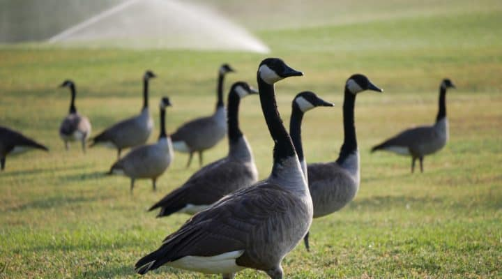 geese chasing franchise
